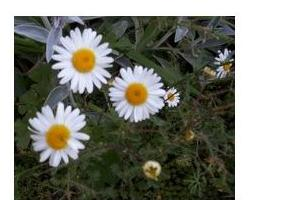 Fleur_de_Pyrethre_N4D.jpg